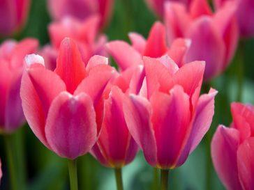 Tulipes rose.