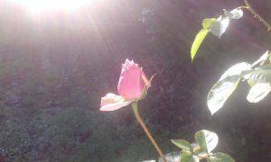 Bouton de rose et rayon de soleil.