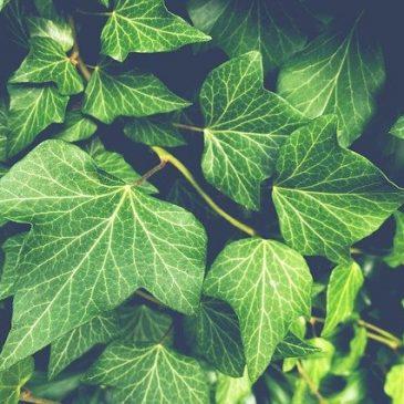 plante-vigne.
