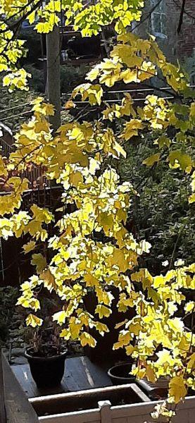 Erable aux feuilles jaunes.
